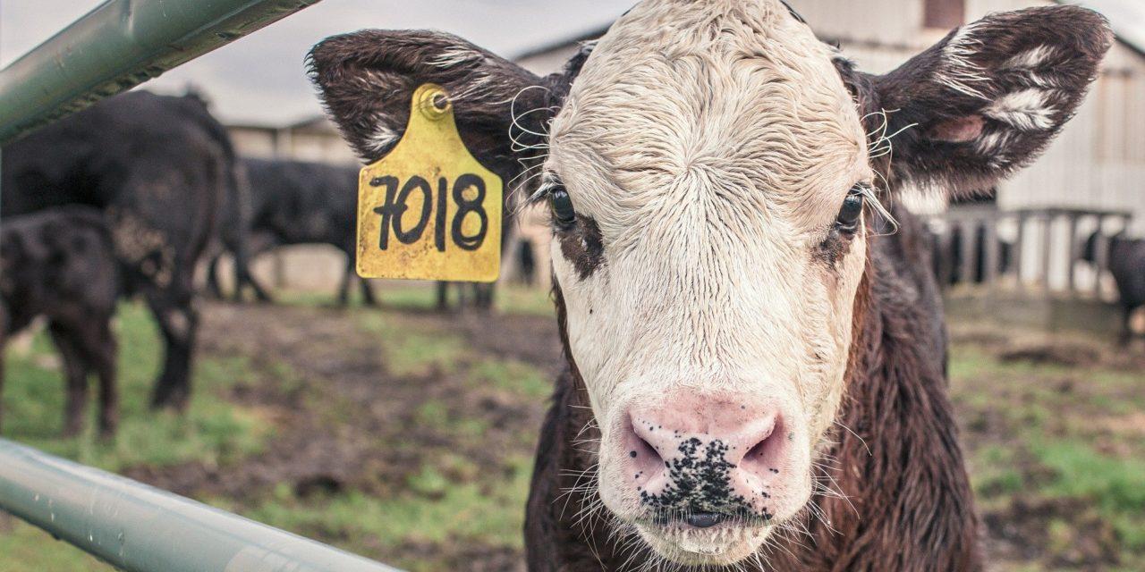 Dlaczego hodowla bydła nam szkodzi?
