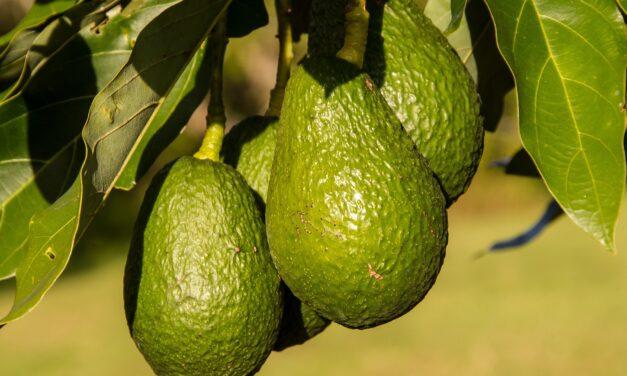 Awokado – zdrowy ciężar dla środowiska?